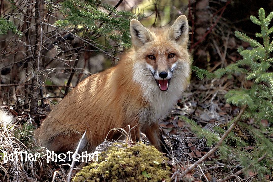 Red Tailed Fox